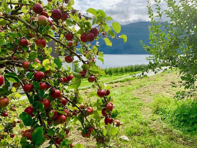 в блоге Uniktur - яблоня с яблоками над фьордом